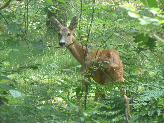 Onverwachte ontmoeting in Veluwse bossen © 2014 Fiet van Beek